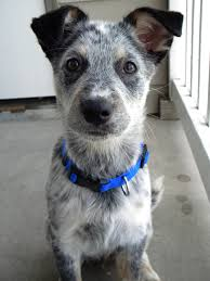 Blue Heeler Mix Shedding by 100 Miniature Blue Heeler Shedding Foldable Dog Able To