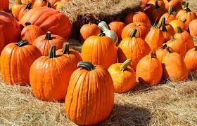 Half Moon Bay Pumpkin Patches by 7 Ways To Celebrate Fall In The Bay Area Bayarea