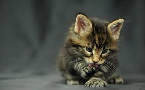 kitty cat cat wallpapers