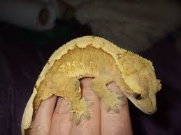 Crested Gecko Shedding Info by Female Crested Gecko Gravesend Kent Pets4homes