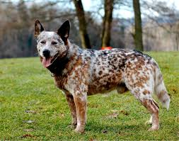 Blue Heeler Mix Shedding by Australian Cattle Dog Puppies Rescue Pictures Information