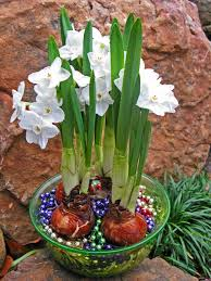 grow guide forcing bulbs hgtv