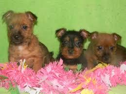 15 best australian terrior images on pinterest terriers