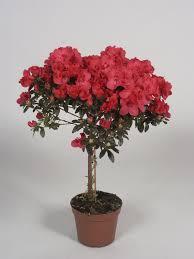 azalée en pot exterieur photo de fleur une pensee fleuriste