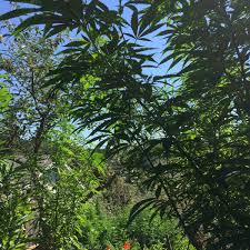 Amazoncom MASDUIH Jewelry Green Marijuana Leaf Christmas Tree