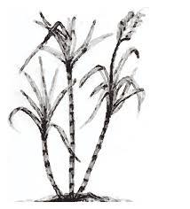 Sugar Cane PNG Black And White Transparent