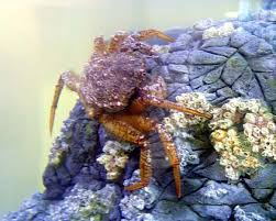 Decorator Crab Tank Mates by Kfrc Aquarium Crab Gallery Details Page