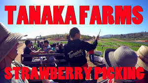 Pumpkin Patch Irvine University by Strawberry Picking At Tanaka Farms Irvine Ca A Great Place To