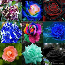 New Varieties Rose Flower Seeds 100 Seeds Package Wedding Flower ... Supermarket Store Prestashop Addons Pinnacle 5x2 Shiplap Wooden Log Departments Diy At Bq Unique Home And Garden Stores Online Backyard Escapes 10 Big Organization Ideas For Your Tiny Home Garden Stores Online 4 Best Design Ideas Unacart Global Shopping For Electronicshome Designing Sensory Desert Low Plans Large How To Plant Fniture Spruce Up Your Space This Spring Stylish New Lines Petaluma Bench Sale Pretoria Outdoor Decoration Catalogs Supplies Planting Gardening Compare Prices On Vegetable