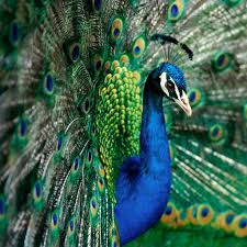 Peacock Indian Peafowl IPad 2 Wallpaper Animals