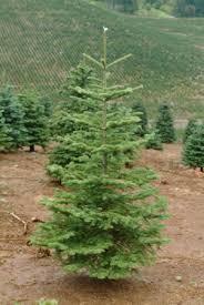 Noble Fir Christmas Tree Between 2