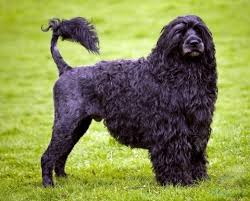 Portuguese Water Dog Non Shedding by Other Water Dogs