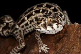 Halloween Pinstripe Crested Gecko by Viper Gecko For Sale Online Viper Gecko Breeder Buy Viper Geckos