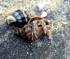Do Hermit Crabs Shed Legs by 7 Do Hermit Crabs Shed Legs Welcome Kangaroo Crew August