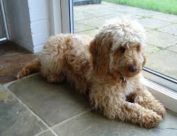 Do Hypoallergenic Dogs Shed As Puppies by Hypoallergenic The Cockapoo Club Of Gb