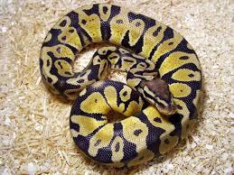 royal ball python python regius online reptile shop