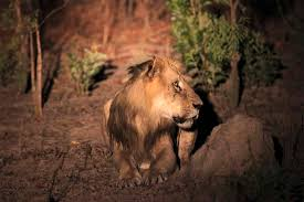 This Photo Taken On Sunday April 3 2011 Shows An Adult Male Lion