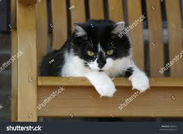 Fluffy Cat Resting On Rocking Chair Stock Photo (Edit Now ...
