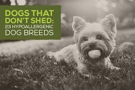 that don t shed 23 hypoallergenic dog breeds