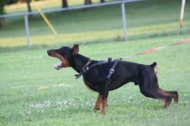 saved by dogs doberman pinscher