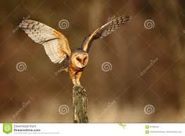 Barn Owl Landing With Spread Wings On Tree Stump At The Evening ... This Galapagos Barn Owl Lives With Its Mate On A Shelf In The Baby Barn Owl Owls Pinterest Bird And Animal Magic Tito Alba Sitting On Stone Fence In Forest Barnowl Real Owls Echte Uilen Wikipedia Secret Kingdom Young Tyto Roost Stock Photo 206862550 Shutterstock 415 Best Birds Mostly Uk Images Feather Nature By Annette Mckinnnon 63 2 30 Bird Great Grey