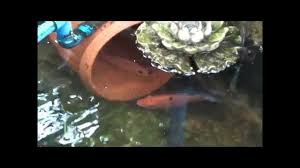 How To, KING FISH BREEDING, MADE Red Tilapia Pond, Aquaponics ... Backyard Tilapia Fish Farm August 192011 Update Youtube Fish Farming How To Make It Profitable For Small Families Checking Size Backyard Catfish To Start A Homestead Or Commercial Tilapia In Earthen Pond 2017 Part 1 Preparation And Views Of Wai Opae Tide Pools From Every Roo Vrbo Sustainable Dig Raise Bangkhookers Fishing Thailand An Affordable Arapaima In Your Home Worldwide Aquaponics Garden Table Rmbdesign Guide Building A Growing Farm Sale Farming Pinterest