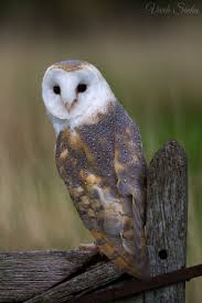 146 Best Birds - Owls: Barn Owls Images On Pinterest | Barn Owls ... Catching Prey In The Dark Barn Owl Tyto Alba Owls Make A Comeback Iowa The Gazette Of Australia Australian Geographic How To Build Or Buy Nest Box Company Best 25 Ideas On Pinterest Beautiful Owl Owls And Modern Farmer Absolutely Stunning Barn Drawing From Artist Vanessa Foley Audubon California Starr Ranch Live Webcams Red By Thef0xdeviantartcom Deviantart Tattoo Scvnewscom Opinioncommentary Beautifully Adapted 9 Best Images A Smile Animal Fun