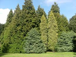 Christmas Tree Saplings Ireland by Tree Seed Online Ltd Home