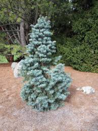 Best Smelling Type Of Christmas Tree by 12 Species Of Fir Trees Members Of The Abies Genus