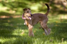 Red White Irish Setter Shedding by Irish Terrier Dog Breed Information Buying Advice Photos And