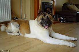 Do Akita Dogs Shed Hair by Pregnant Mother From Nottingham Left With Her U0027face Hanging Off