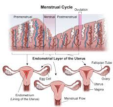 Uterus Lining Shedding Period by Menstrual Cycle An Overview