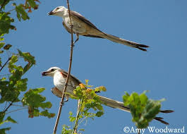 Scissor Tailed Flycatcher Pair Springfield MO 6 July