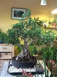 pot bonsai grande taille grand pot pour ficus céramique et poteries forums parlons bonsai