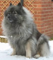 Dogs That Dont Shed Keeshond by Keeshond Information Dog Breeds At Dogthelove