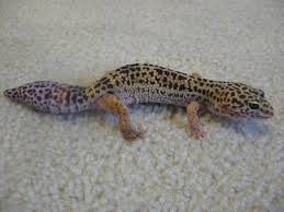 Do Baby Leopard Geckos Shed by How To Care For A Leopard Gecko