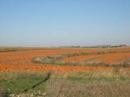 Central Iowa Pumpkin Patches by The Pumpkin In Your Pie Likely Came From Illinois Iowa Public