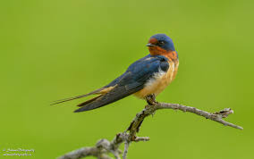Barn Swallow | Salman Photography European Barn Swallow Hirundo Rustica Stock Photo Royalty Free Swallow Idaho Birds Audubon Guide To North American Posing On A Fence Of Ukraine Birdwatching Alentejo Portugal Boerenzwaluw Barn Stock Image Image Young 67199779 Detailed Close Up Hinterland Whos Who Or The Uk And Ireland Male Swallows
