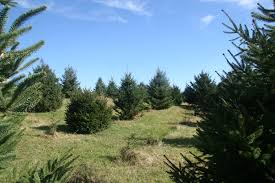 Real Christmas Trees The Best Choice