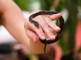 Corn Snake Shedding Too Often by How To Feed Frozen Mice To Pet Snakes Feeding Snakes