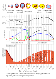 Uterus Lining Shedding Pain by Menstruation Psychology Wiki Fandom Powered By Wikia