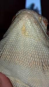 Bearded Dragon Shedding Behavior by Yellow Fungus Help U2022 Bearded Dragon Org