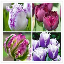 free shipping us 2 pcs true brajamusti purple tulip bulbs not