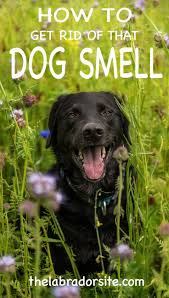 Dogs That Dont Shed Or Stink by Understanding Dog Smell U0026 How To Get Rid Of Dog Smell From Your
