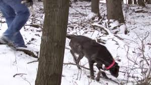 german shorthaired pointer shed your to hunt shed antlers