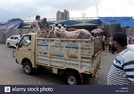 100 Cow Truck Kolkata India 11th Sep 2016 For Sacrifices In A Small Truck