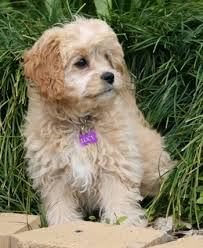 do cavapoos shed a lot cavapoo information pictures reviews and q a greatdogsite