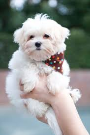 Dogs That Dont Shed A Lot by Best 25 Toy Dog Breeds Ideas On Pinterest Small Dogs Small