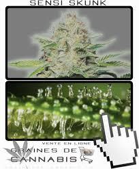 recolte cannabis exterieur date graines de cannabis à autofloraison