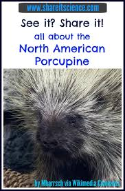 Porcupine Eats Pumpkin by Share It Science See It Share It North American Porcupine